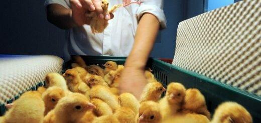 Контролёр пола цыплят