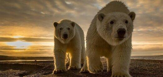 белые медведи необычайно теплокровные