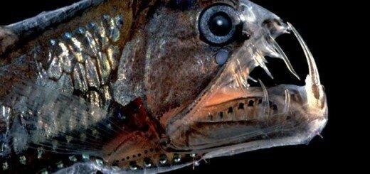 рыба Хаулиод